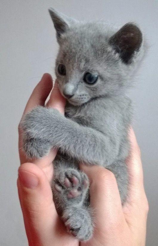 Pin By Cristi On Kitti Love Cats And Kittens Russian Blue Kitten Kittens Cutest