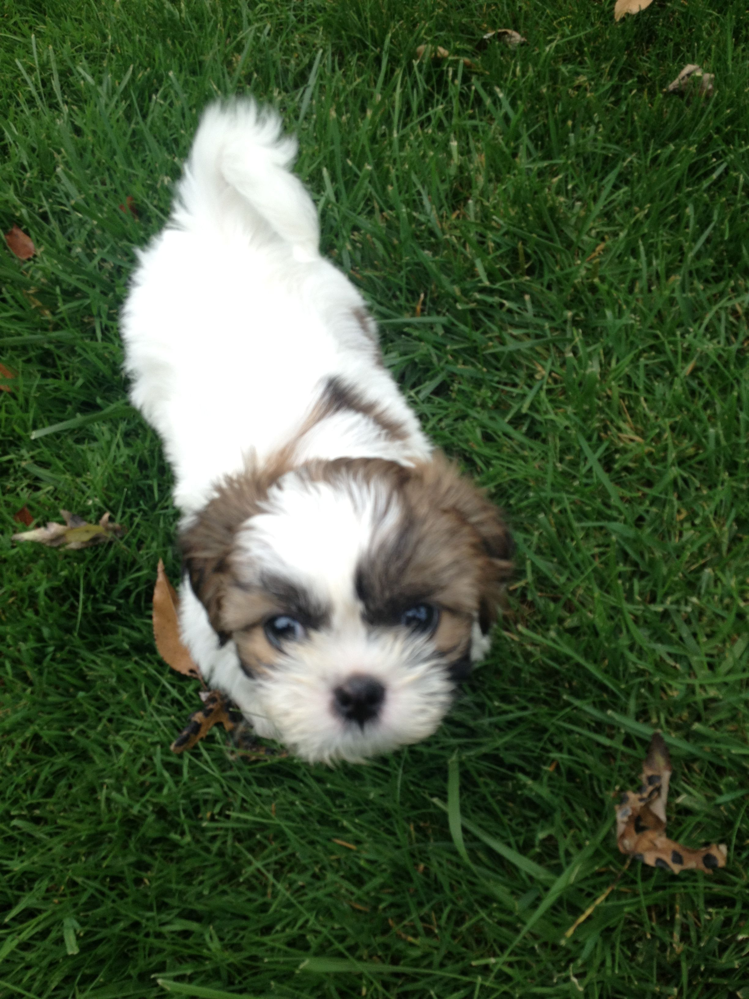 Can not wait to get our little guy shih tzu puppy shih