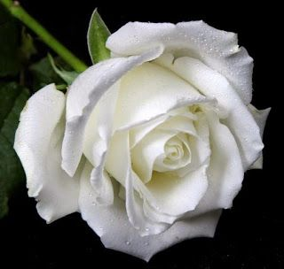 White Rose Flower Meaning Symbolic Flowers