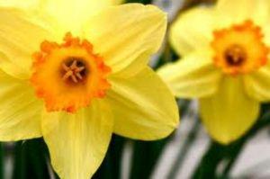 Daffodils by frieda