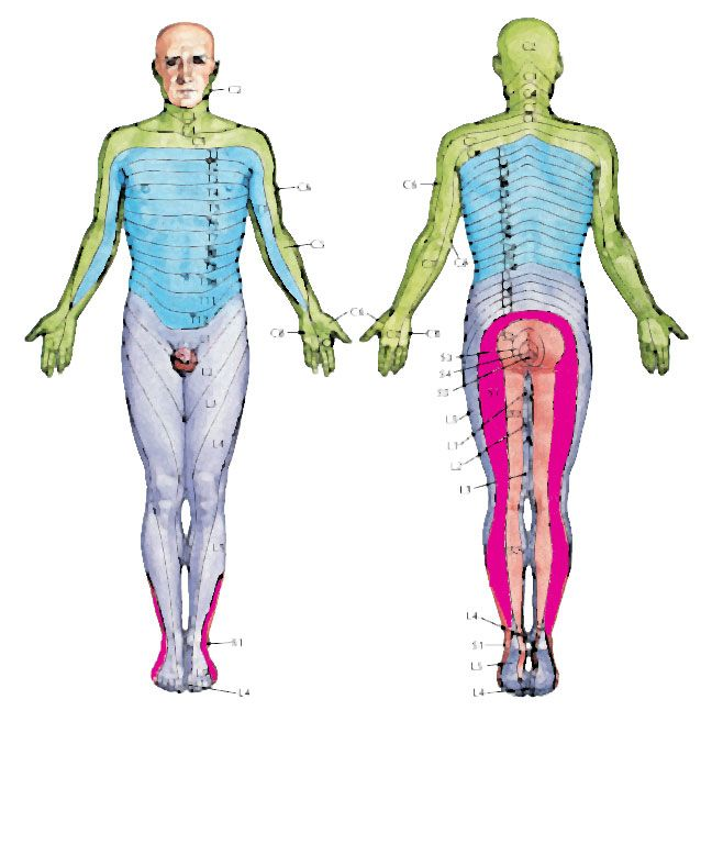 S1 Nerve Root Spinal L1 To L5 Pinterest