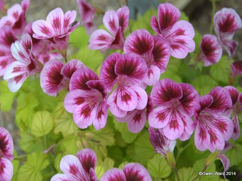 PERFECT PELARGONIUMS: Rockwell Sophie - Gold leaf Angel ...