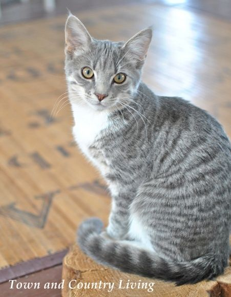 Our Little Kitten Albie Grows Up Town Country Living Grey Tabby Cats Pretty Cats Tabby Cat