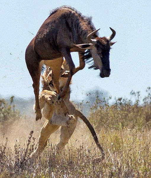 As the lioness pounced, the ready wildebeest jumped even higherinto the air, treating itsattacker to a hoof in the face.