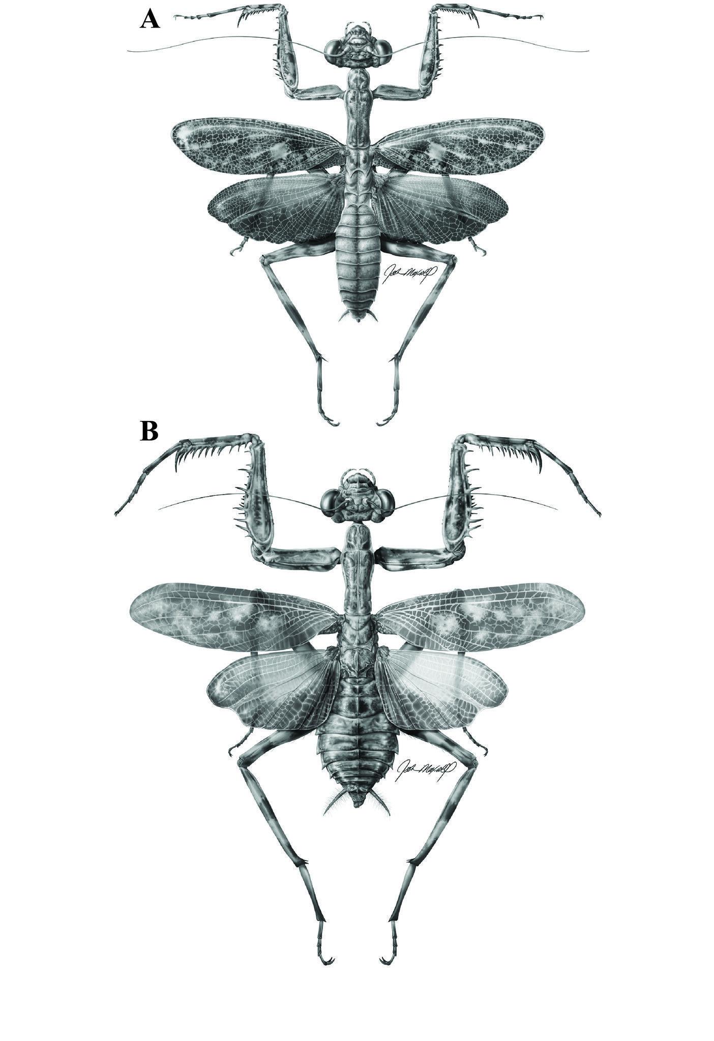 New praying mantis Liturgusa fossetti | Pinterest | Praying mantis