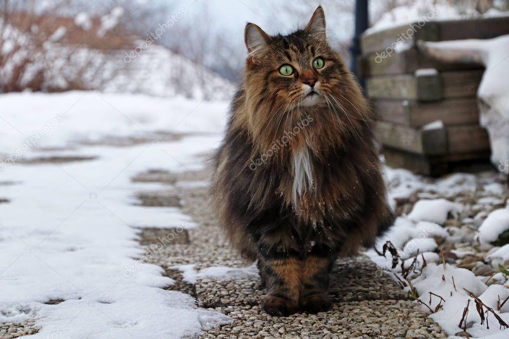 Pretty Brown Black Norwegian Forest Cat Footpath Stock