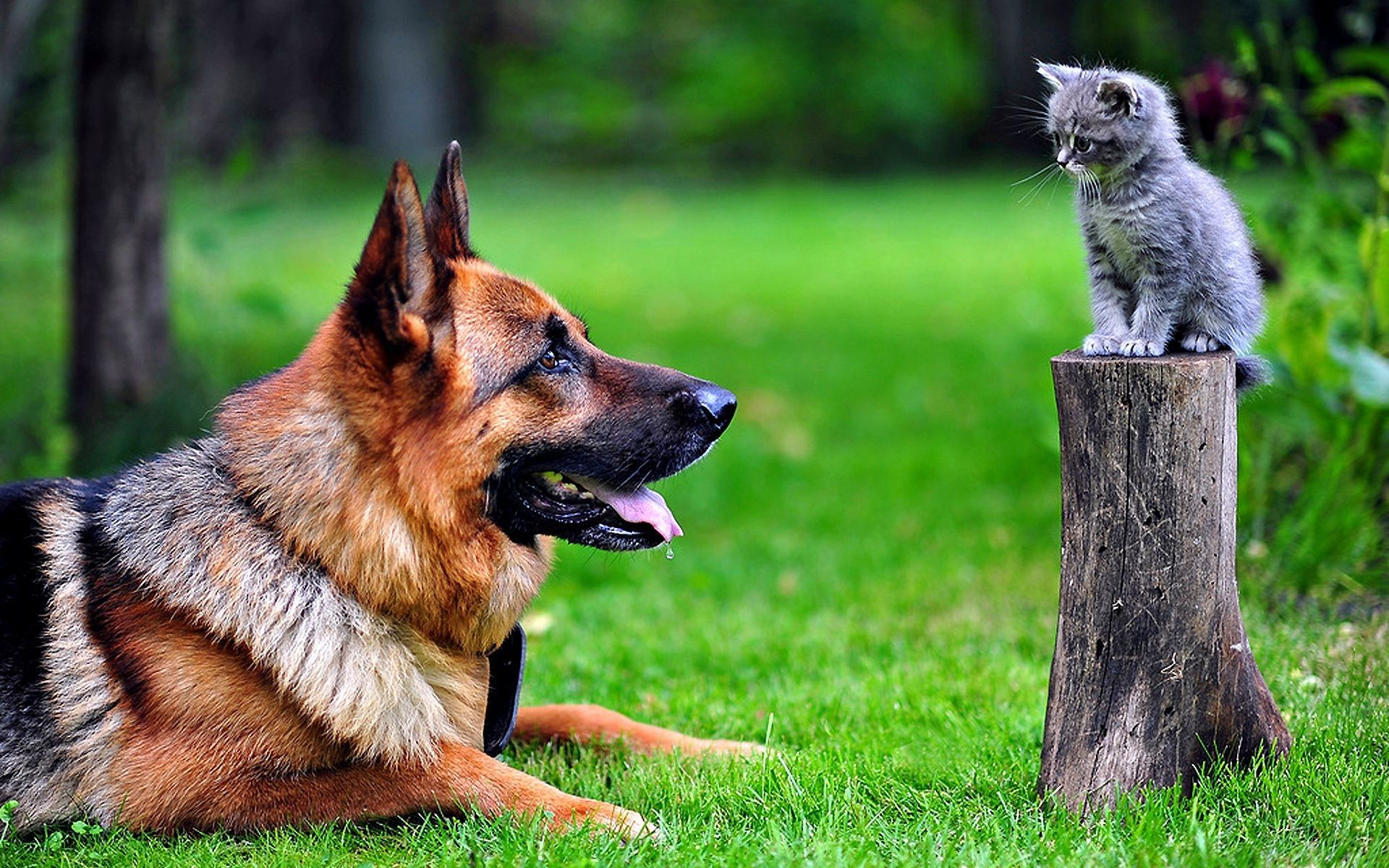 How do you get your GSD not to eat the cat? Any tips?