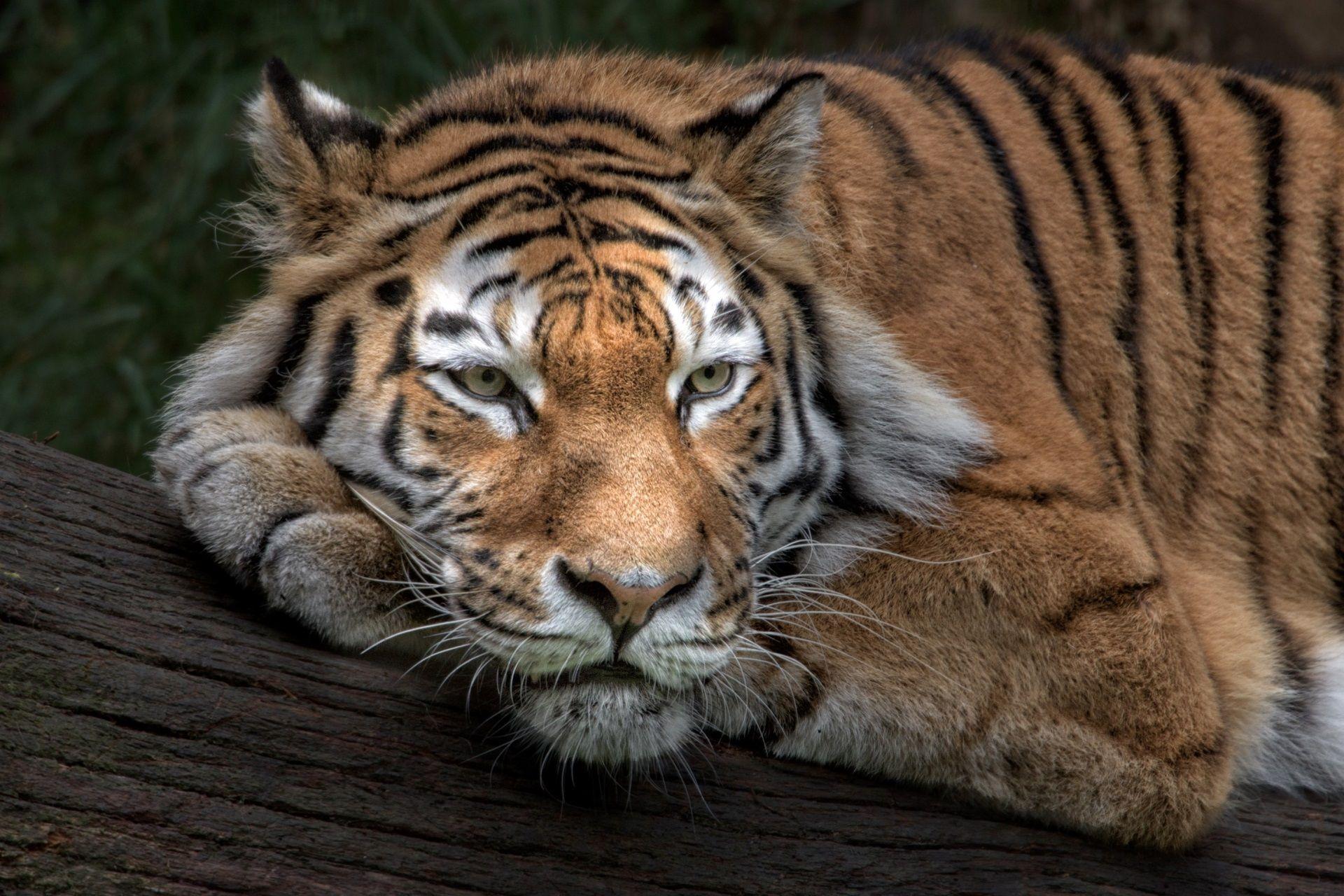 1920x1280 siberian tiger new wallpapers full hd Tiger