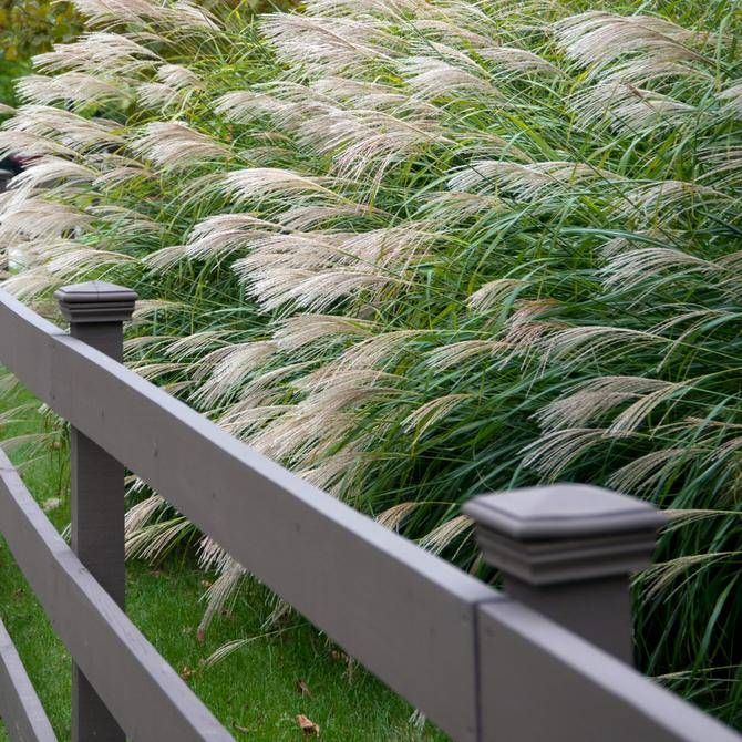 Common Ornamental Grasses When i was a young horticulturist i saw a collection of ornamental when i was a young horticulturist i saw a collection of ornamental grasses growing in workwithnaturefo