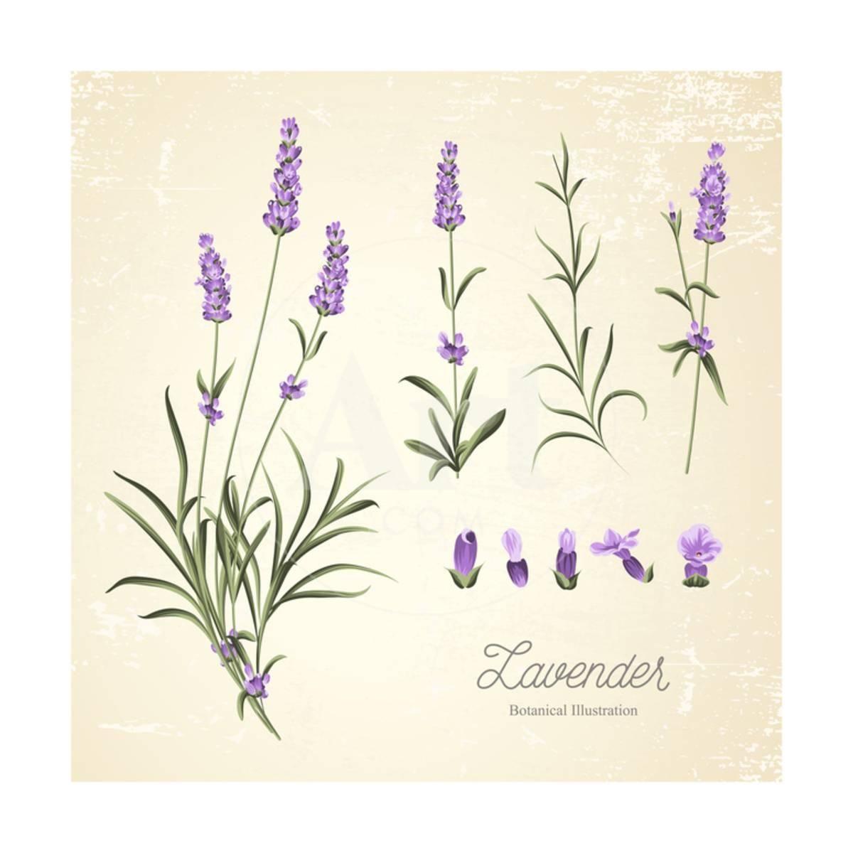 Vintage Set Of Lavender Flowers Elements Botanical Illustration Lavender Hand Drawn Watercolor Art Print Kotkoa Art Com Botanical Illustration Vintage Flower Drawing Botanical Illustration