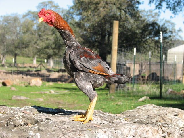 Pin On Chicken Breeds- Oriental Gamefowl-5021
