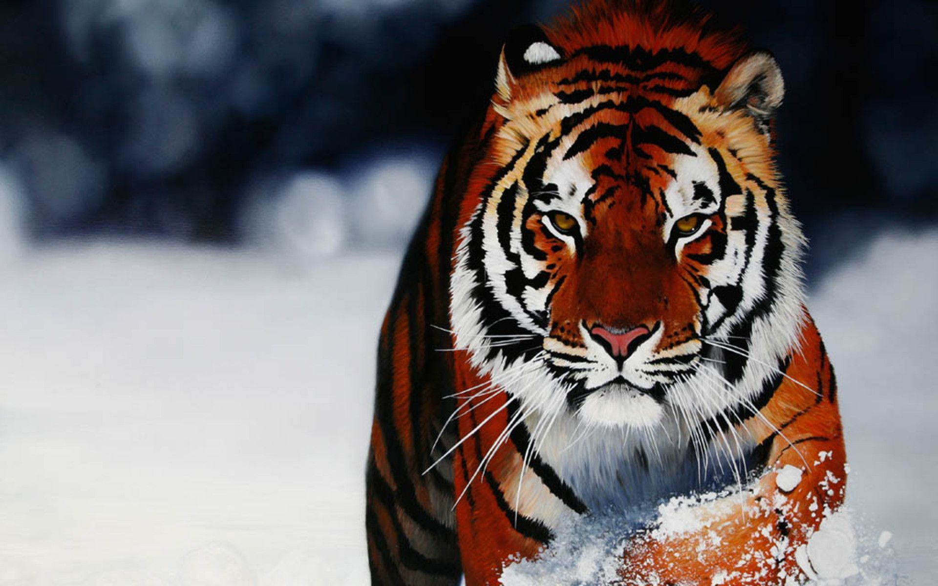 Tiger hd p wallpapers hd wallpapers wallpapers k pinterest hd