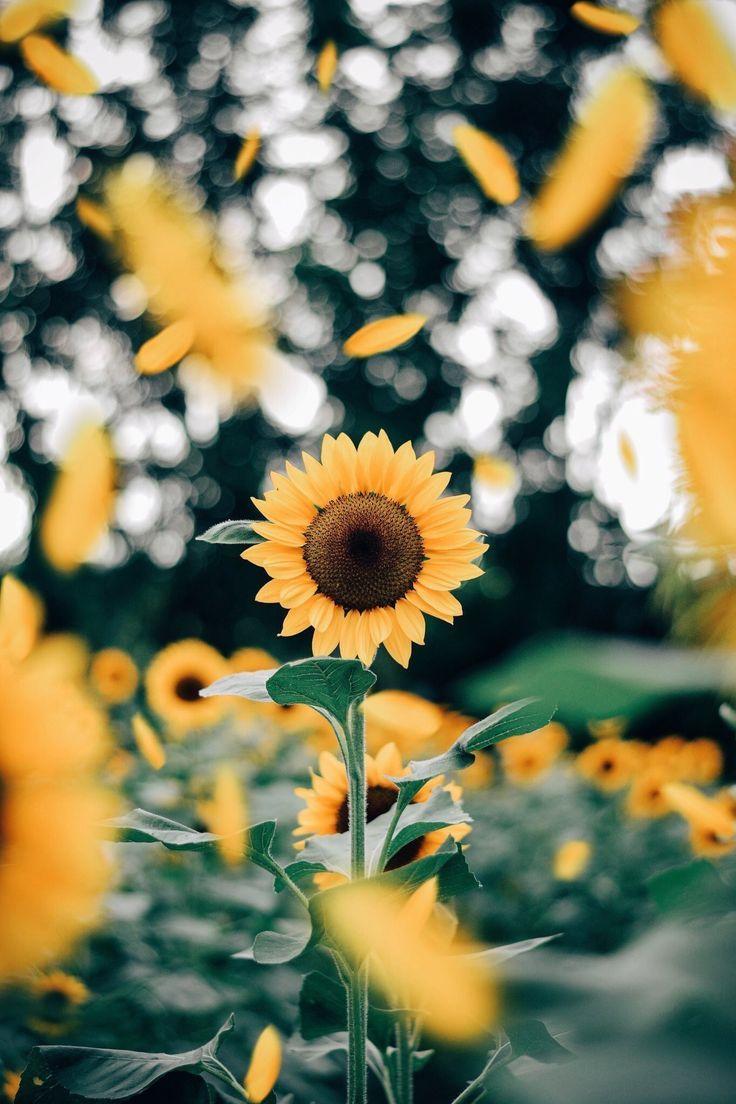 sunflowers (Dengan gambar) | Latar belakang, Fotografi ...