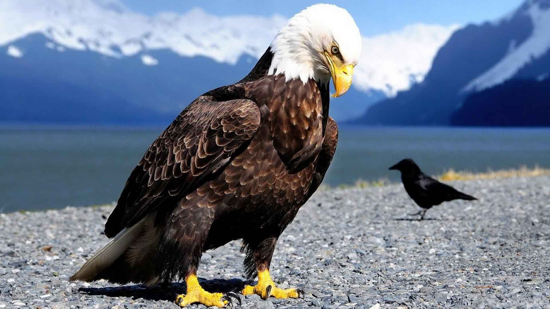 Eagle Wallpapers Download Free 1920×1080 Eagle Wallpapers Free ...