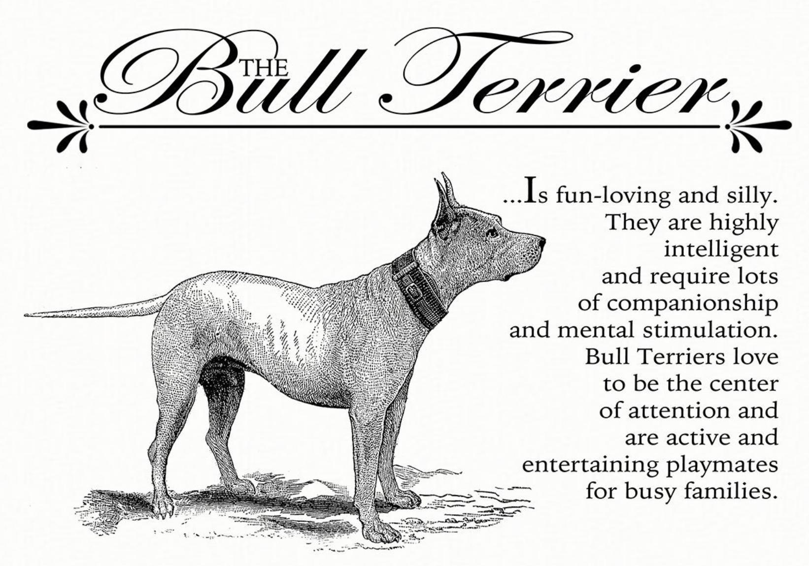 Jack Russell Terrier Jrt