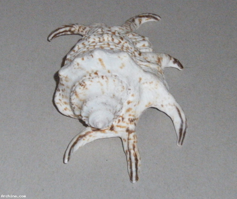 Coquillage lambis harpago 130 mm