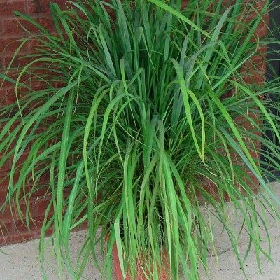 3pc Lemon Grass Collection National Plant Network Edible Garden Container Gardening Vegetables Container Gardening