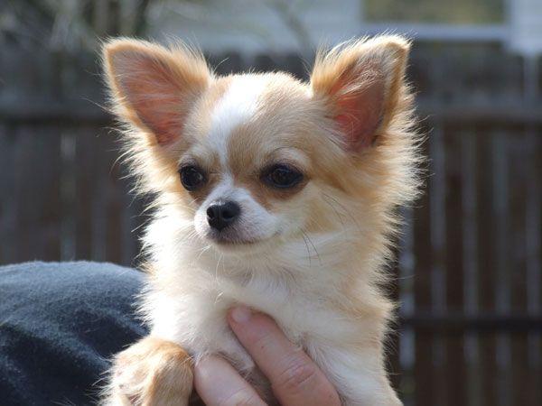 fawn chihuahua long coat Cute chihuahua, Chihuahua