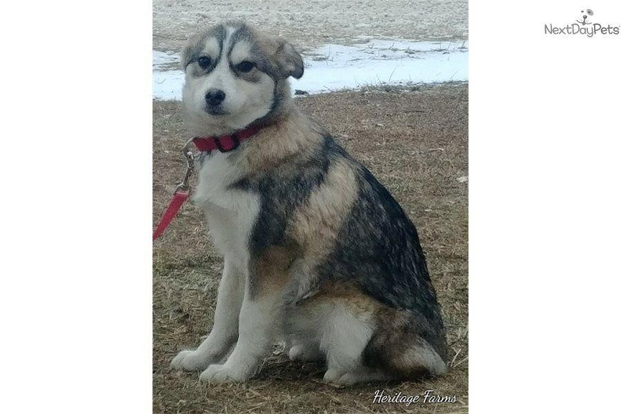 Aspen pomsky puppy for sale near st louis missouri