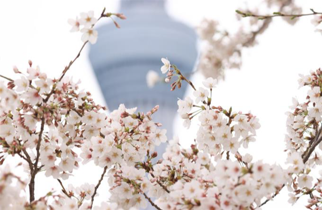 Cherry Blossoms Are In Full Bloom But This Year Let S Enjoy Them From Home Cherry Blossom Blossom Hanami