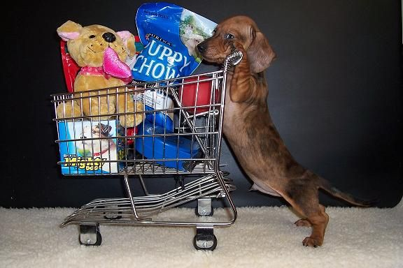 Just Going Shopping For All The Essentials Dapple Dachshund