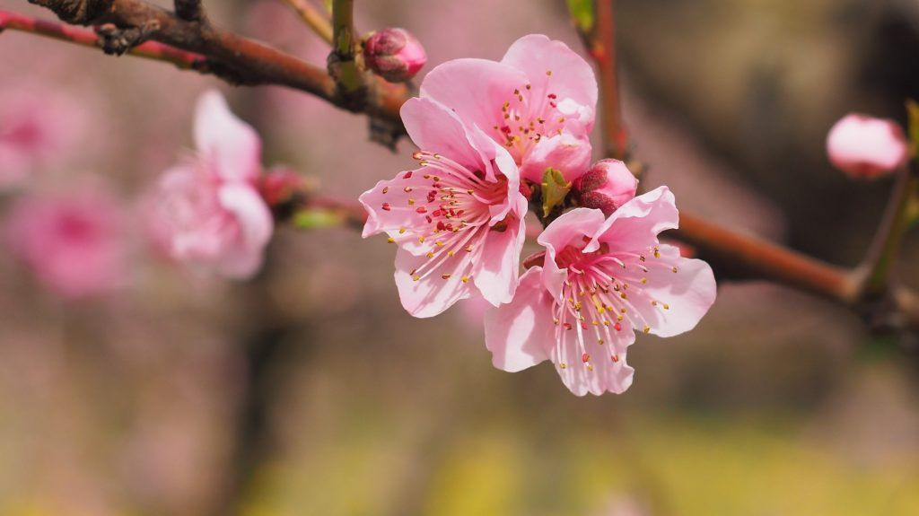 27 Beautiful Photographs Of Cherry Blossoms Beautiful Flowers Pictures Beautiful Flowers Images Flower Images