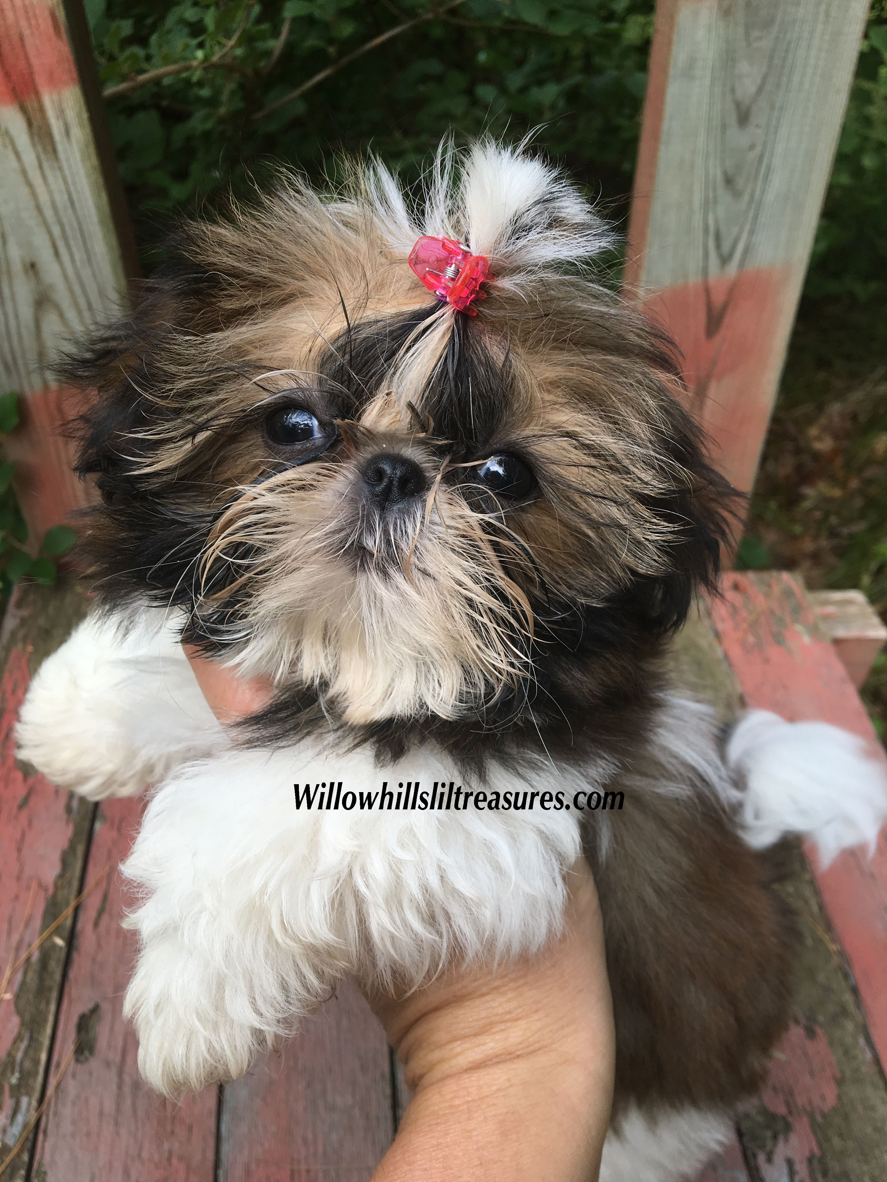 Pin By Darlene Pitzer On Puppies Cute Dogs And Puppies Shih Tzu Puppy Lap Dogs