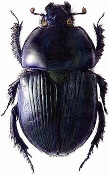 """""""Suomen lantakuoriaislajeista yli puolet on uhanalaisia tai silmälläpidettäviä. Mitä siitä seuraa? Vaikuttaako lantakuoriaisten ahdinko lannan hajoamiseen laitumilla?"""""""