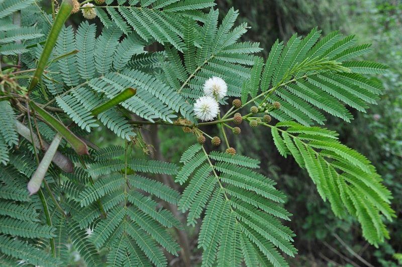 نبات لوسيانا أو السيسبان من النباتات قليلة العناية ولا تصاب بأمراض غالبا وتصلح لأجوائنا الحارة تعرف عليها أكثر من خلال موقع نباتات Plant Leaves Plants Leaves