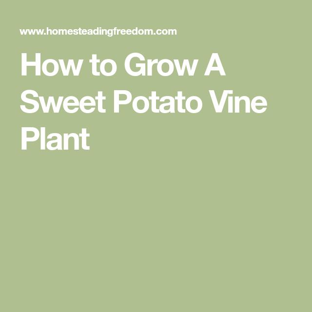 How to Grow A Sweet Potato Vine Plant
