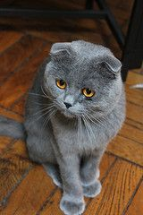 The World S Best Photos Of Scotish And Fold Flickr Hive Mind Cat Scottish Fold Animals Beautiful Cat Fur