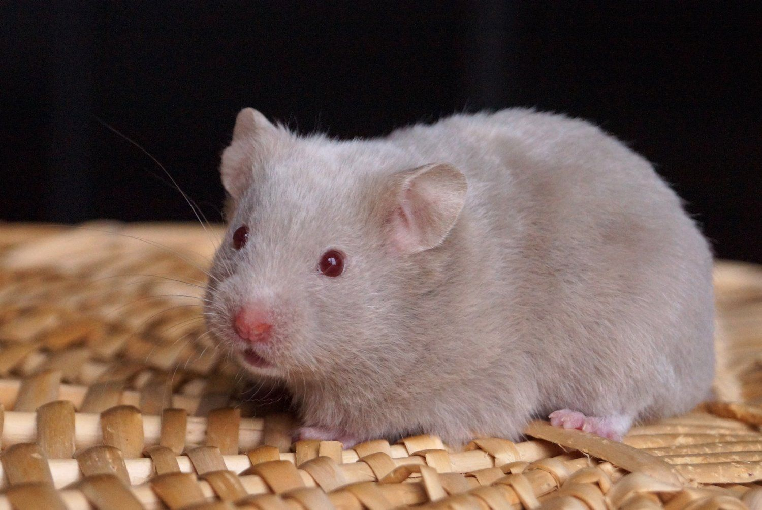 Photos From Stardust Hamstery S Post Stardust Hamstery Syrian Hamster Cute Hamsters Hamster Life