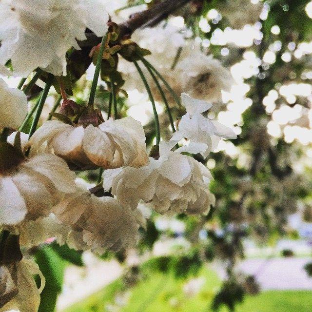 https://flic.kr/p/s4H5F2 | Blossom in Bath #upsticksandgo #flowers #blossom #spring #bath #uk #travelgram #travellingtheworld #michfrost