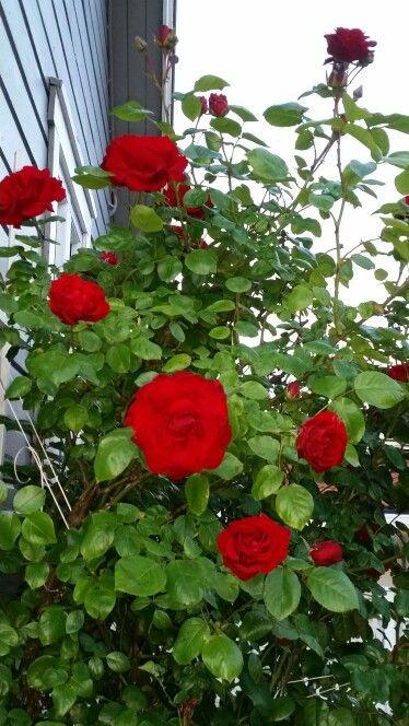 Endelig blomster mine praktfulle roser.