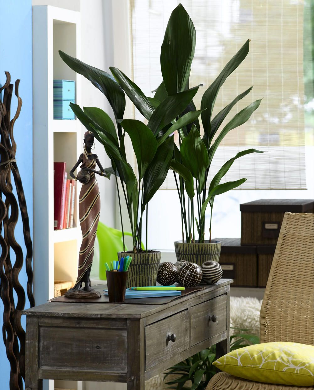 Sie Gilt Als Eisenpflanze Anspruchslos Und Unverwustlich Die Schusterpalme Gehort Zu Den Robustesten Und Pflege Zimmerpflanzen Zimmerpflanzen Ideen Pflanzen