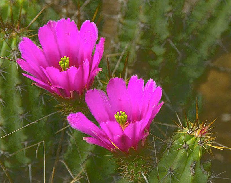 Cactus flowers in Palau, Coahuila_ Mexico Cactus flowers