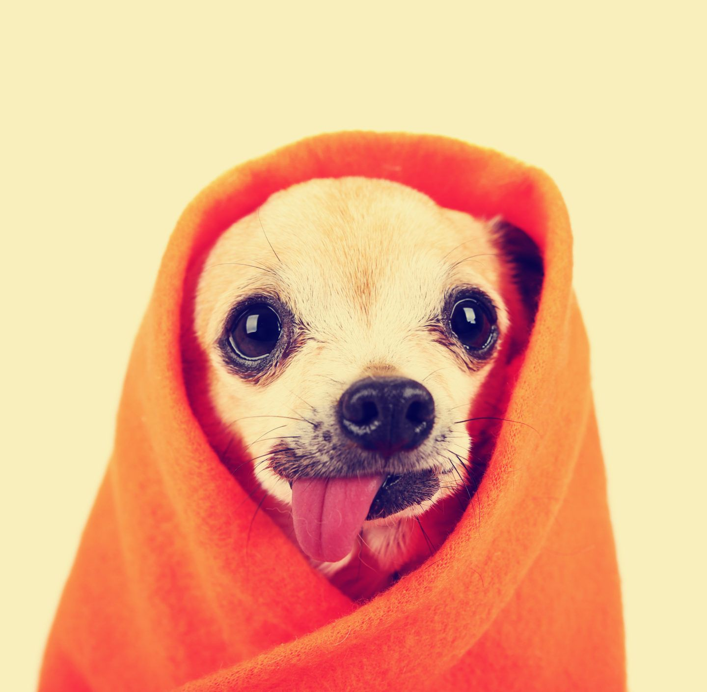 Chihuahua Health What Is Hanging Tongue Syndrome Chihuahua