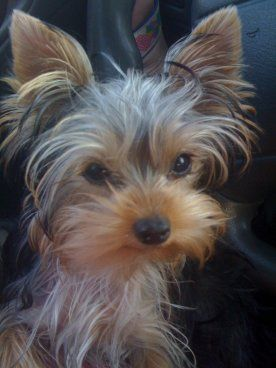 Adopt Easter Lily On Yorkie Puppy Yorkshire Terrier