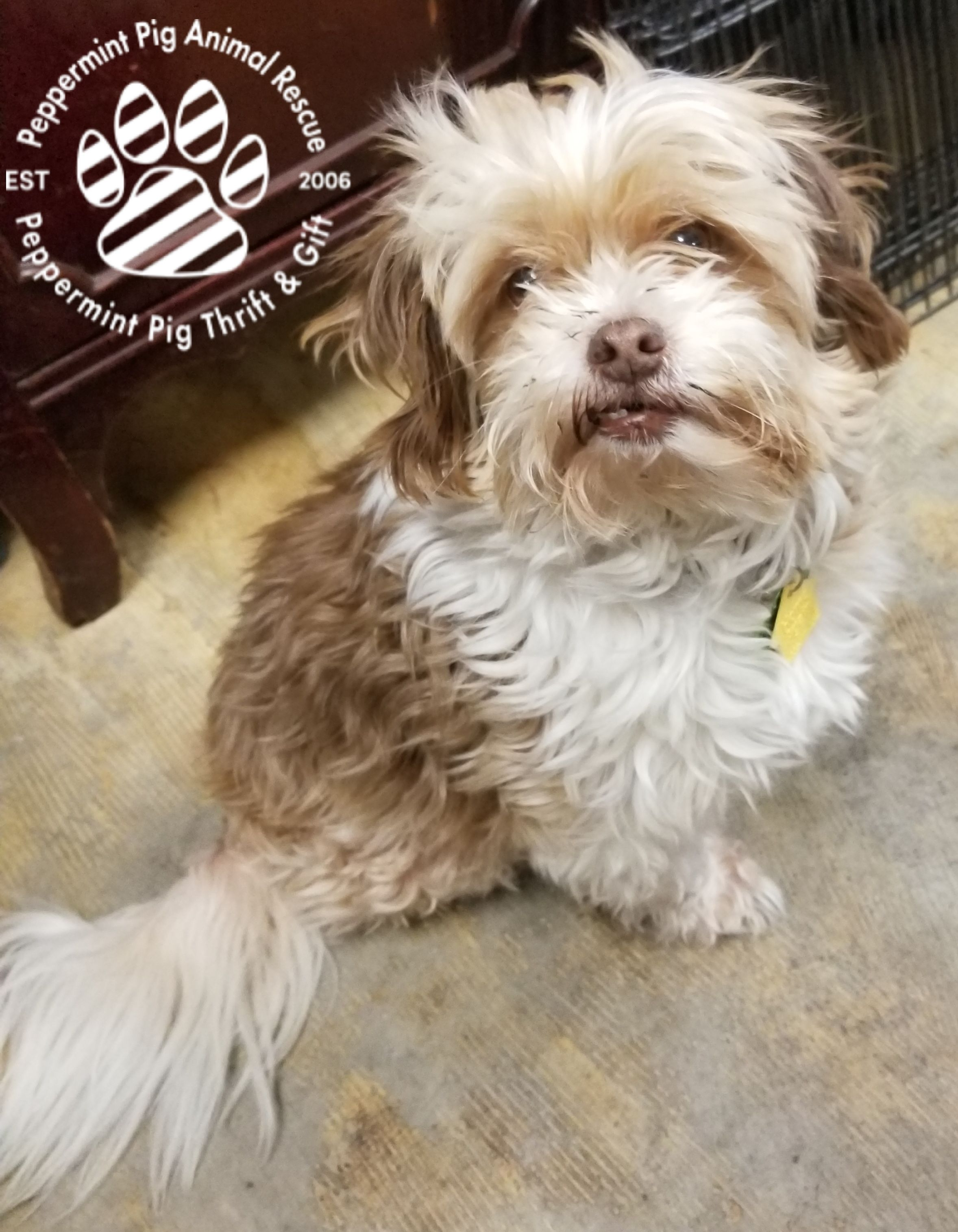 Adopt Lola On Shih Tzu Rescue Dog Quotes Shih Tzu Puppy