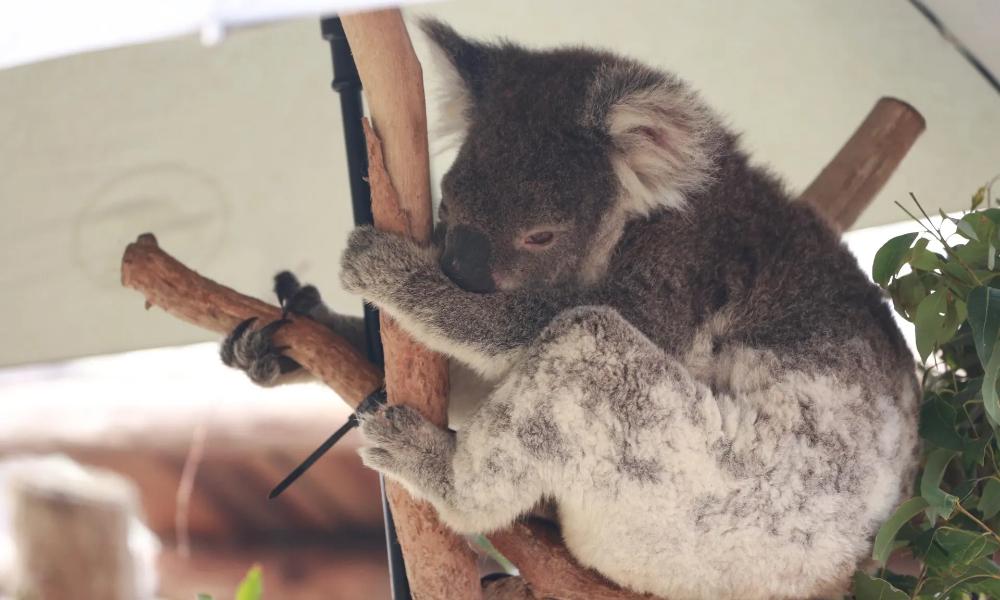 Koala factcheck have the Australian bushfires put