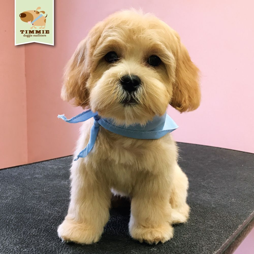 Bailey came by for his very first groom what a cutie