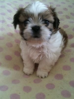 Teacup Shih Tzu Puppies For Sale In Ho Chi Minh City Vnm 10 June 2 Puppy Adoption Shih Tzu Puppy Free Puppies
