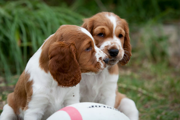50 Cute Puppies You Ll Have To See To Believe Welsh Springer