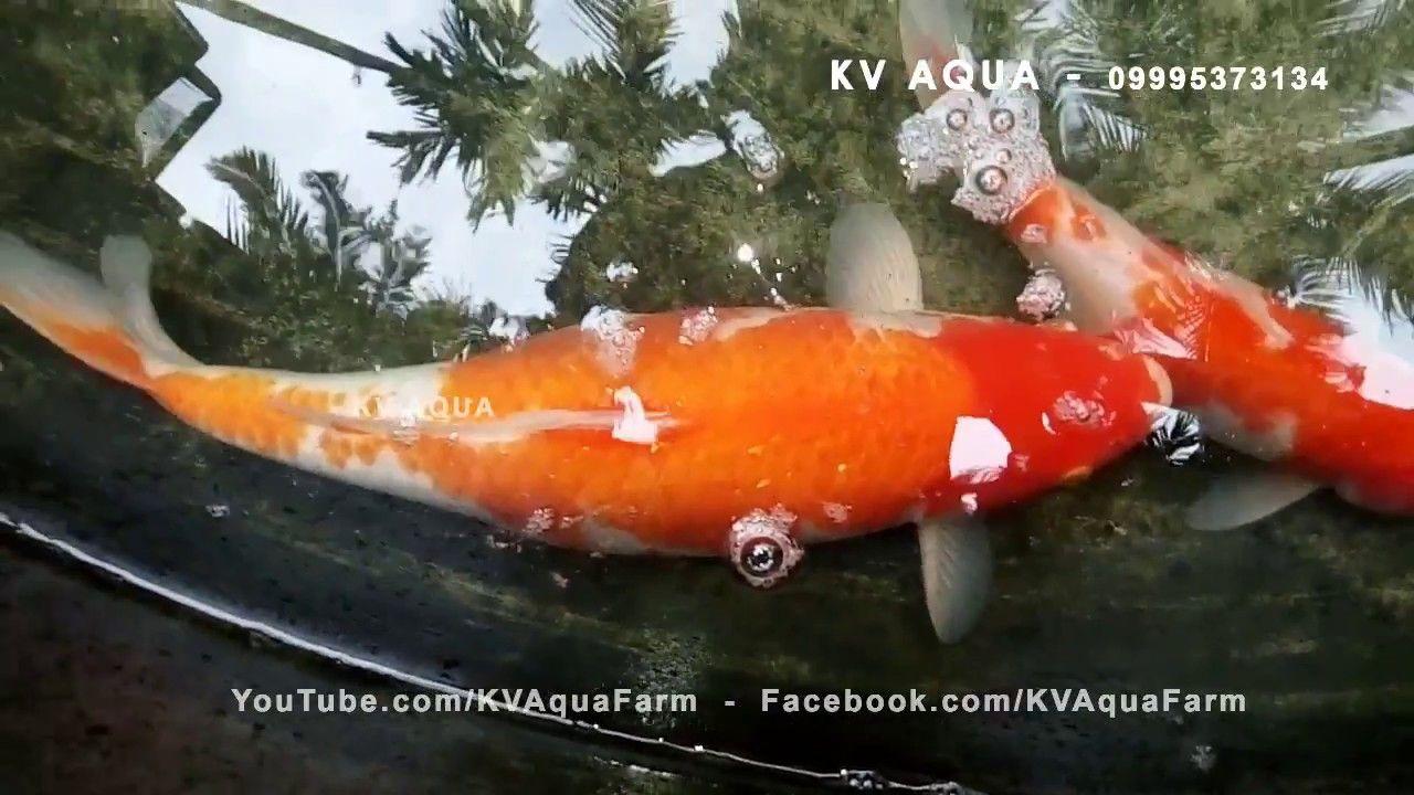 How To Breed Koi Fish At Home Setup Koi Fish Fish Breeding Fish