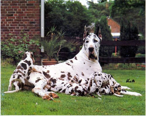 Harlequin Grand Danes With Puppies What More Would You Need