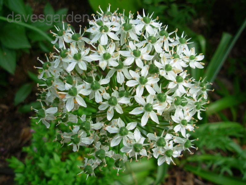 Full Size Picture Of Black Garlic Flowering Onion I Allium Nigrum I Black Garlic Hummingbird Garden Plants
