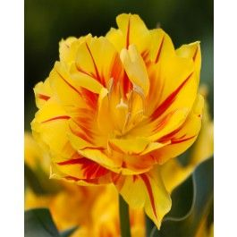 Sunshine yellow is offset with a thin, contrasting red stripe on each of the many petals of this double variety. If you're looking for a bright and cheerful effect, then this is the tulip you need. The intense colours will brighten up any border whether used alone or in combination with other blooms. Order your tulip flower bulbs online and pay wholesale prices with DutchGrown.  We only ship TOP Sized 12cm+ tulip bulbs!