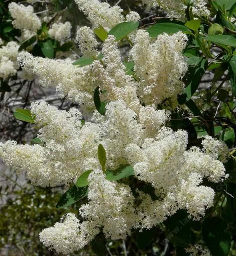 ceanothus integerrimus deer brush mountain lilac fragrant white blooms a truly drought. Black Bedroom Furniture Sets. Home Design Ideas