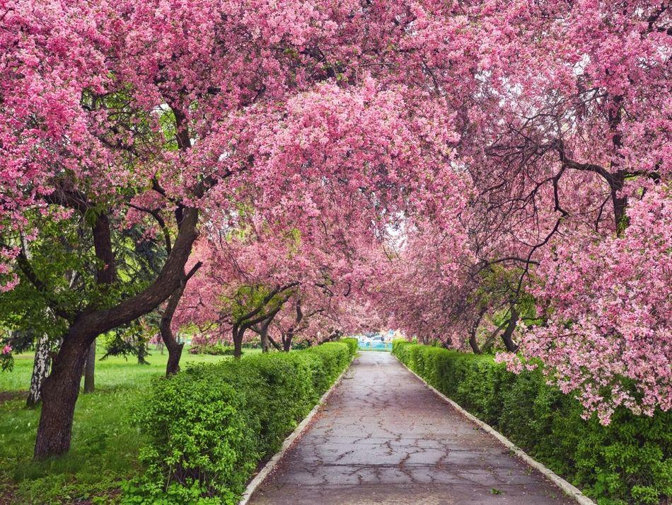 Drzewa I Krzewy Kwitnace Wiosna 25 Gatunkow I Odmian Tree Wall Murals Spring Landscape Apple Tree
