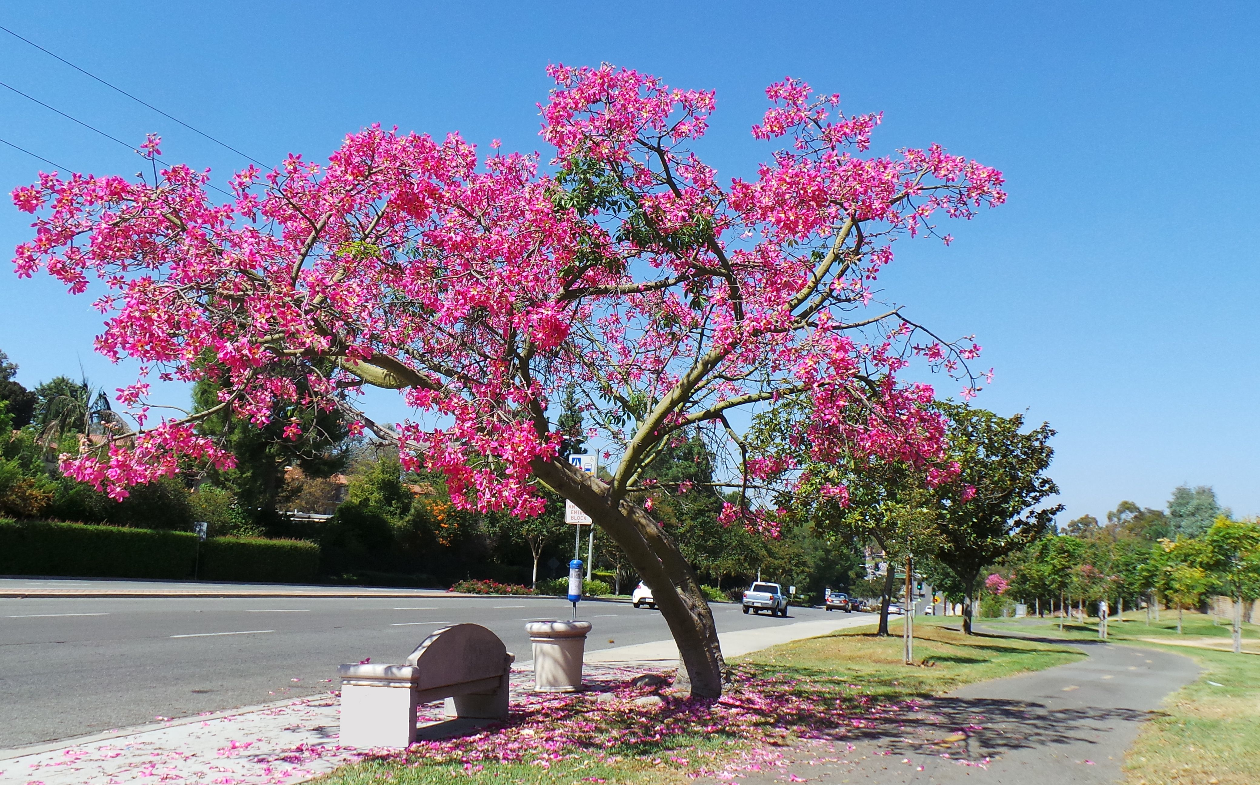 Floss Silk Tree aka Chorisia Speciosa | Flowers/Plants ...